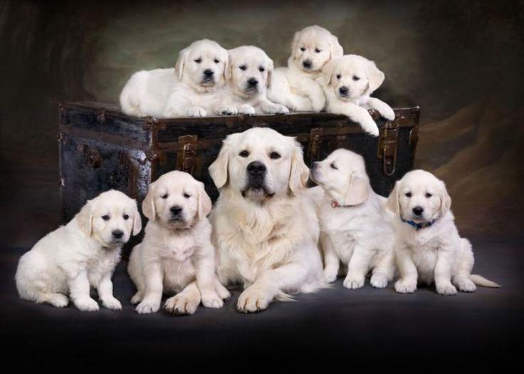 Cute Puppies Christmas Wallpaper English Cream English Golden Retriever Puppies Carson