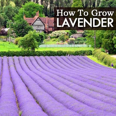 25 Best Ideas About Growing Lavender On Pinterest Lavender Care