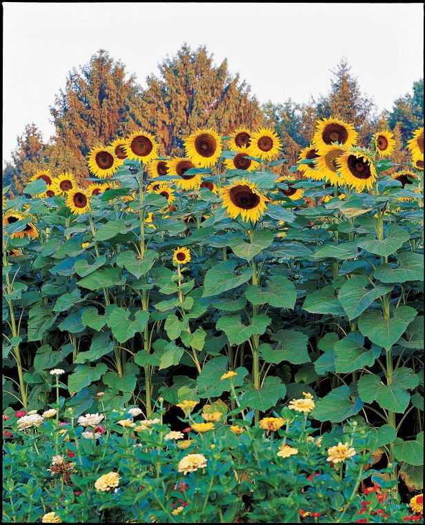 25 Best Ideas About Giant Sunflower On Pinterest Cut Flowers