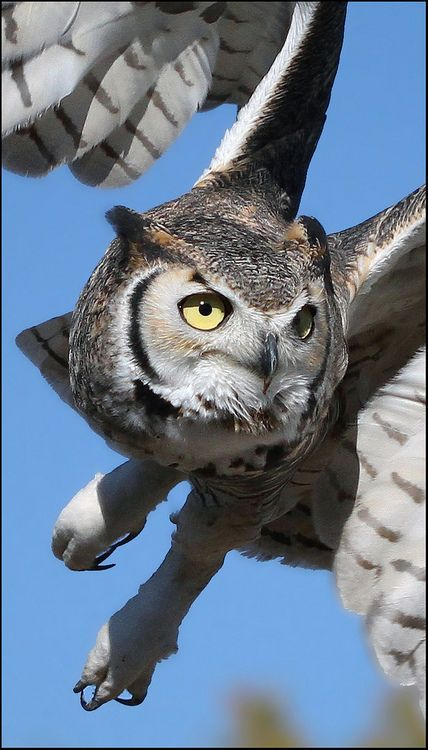 Owl in Flight. Amazing