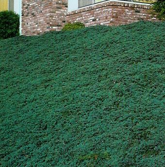 Blue rug juniper would also work on my sloped front yard  City Gardening  Pinterest  Front