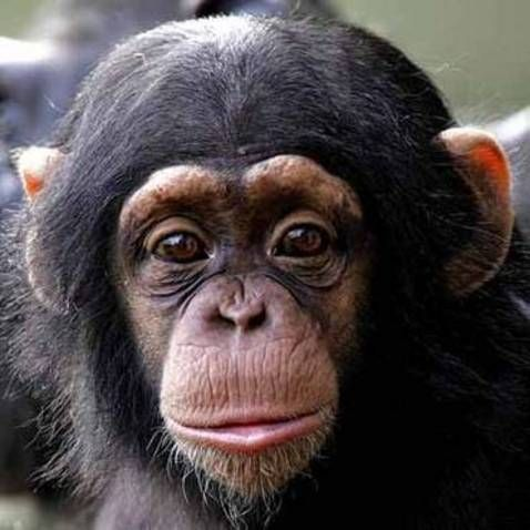 Sweet Baby chimpanzee face! Chimpanzee Pinterest