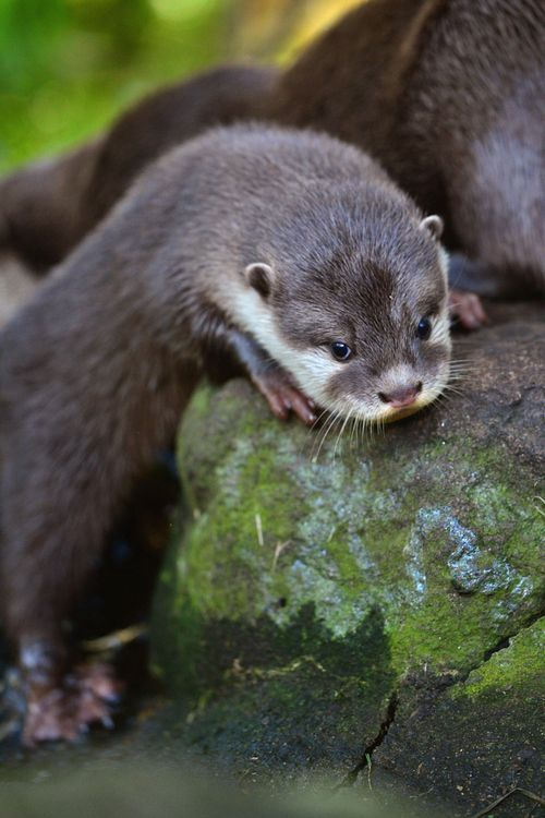 17 Best images about Otter on Pinterest  Mothers