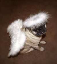 Pug dog wearing an angel costume | Dogs Pugs | Pinterest ...