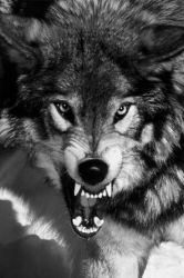 Zendha: Angry Wolf Iphone Wallpaper