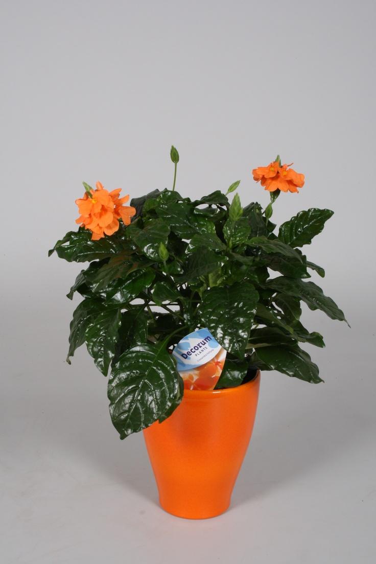 Crossandra Fortuna in oranje overpot  Crossandra