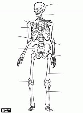 Menselijk skelet. De botten van het menselijk lichaam