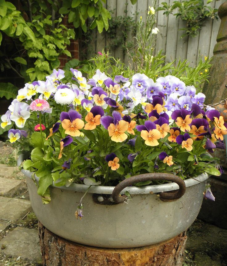 25 Best Ideas About Pansies On Pinterest Pansy Flower Violets