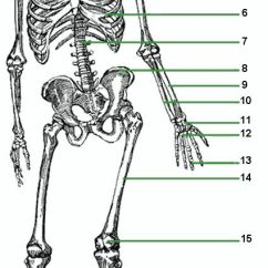 Kids Skeletal System Diagram Holden Rodeo Radio Wiring : Chapter 5 | Anatomy & Physiology Pinterest