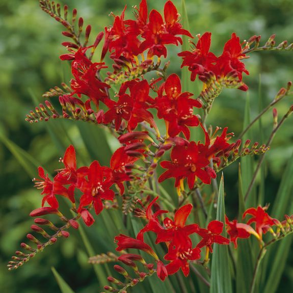 Crocosmia Lucifer  Late summer