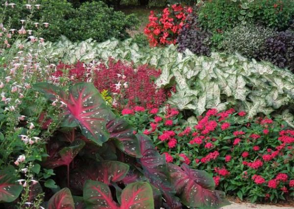 shown in gingerland caladiums