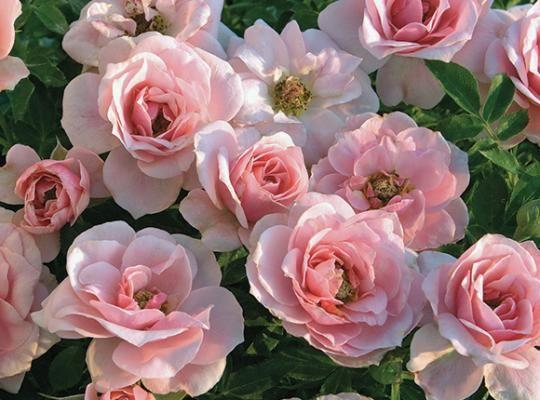 449 best FLOWERS miniature roses images on Pinterest