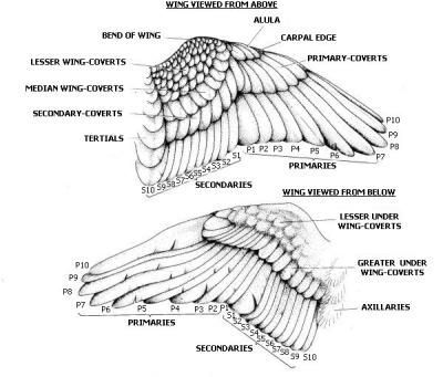 13 best images about Wing References on Pinterest