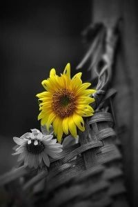 292 best images about Black & White - Pop of Yellow on ...