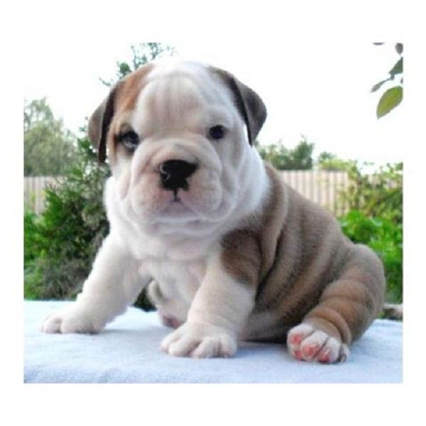 √ 25+ best ideas about Teacup bulldog on Pinterest
