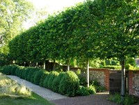 1000+ images about Backyard - Privacy Hedges on Pinterest ...