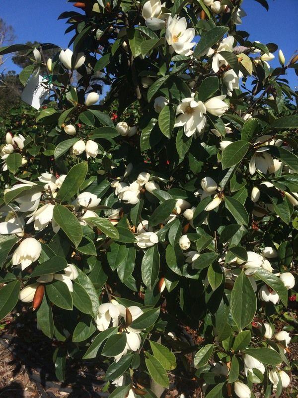 Magnolia Cream Fairy syn Michelia pbr  Warners