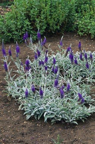 Veronica Spicata Ssp Incana Nana Gray Foliage With