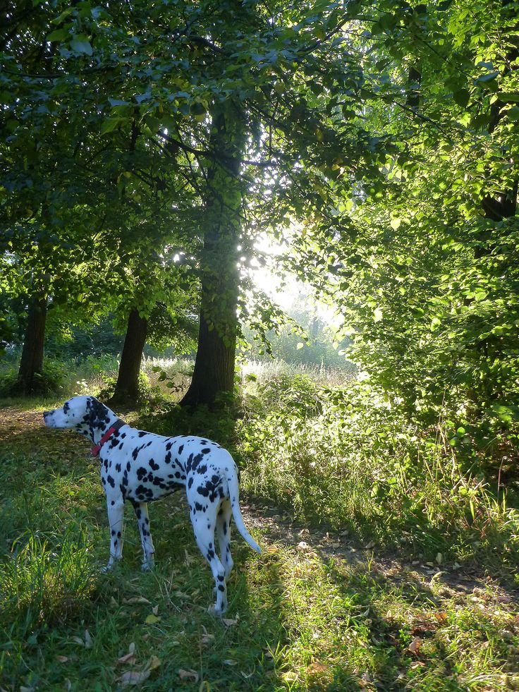 154 Best Images About Dalmatians! ⚫️⚪️ On Pinterest