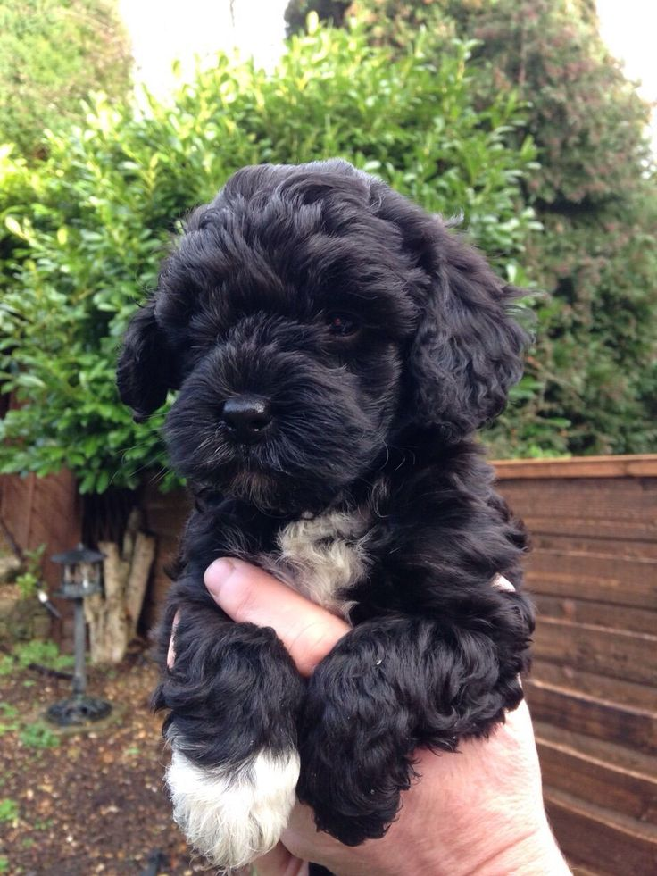 25 Best Ideas About Cockapoo Puppies On Pinterest