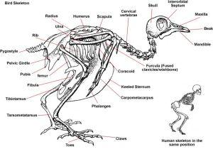 Bird Skeleton | Diagram Showing Skeleton of a Bird | Diagrams | Pinterest | Crows, Corner and