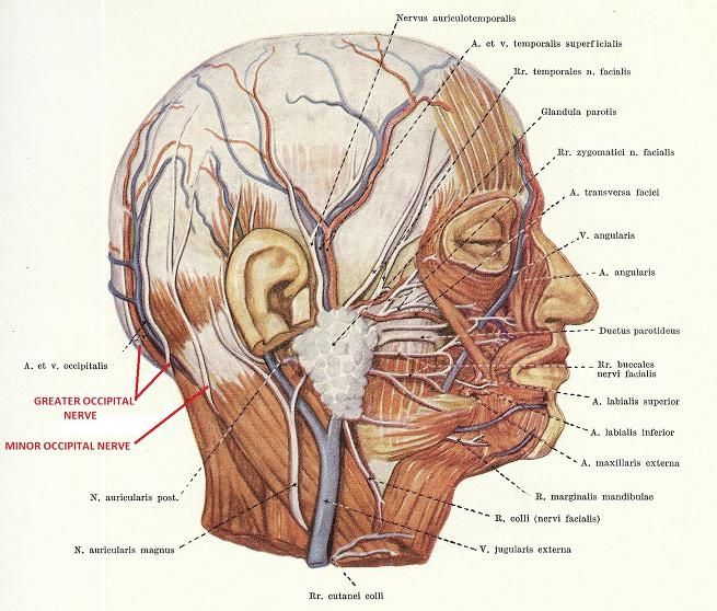 behind the ear diagram labeled dodaf sv 2 occipital nerve mechanism of headache as a result nerves | charts for head ...