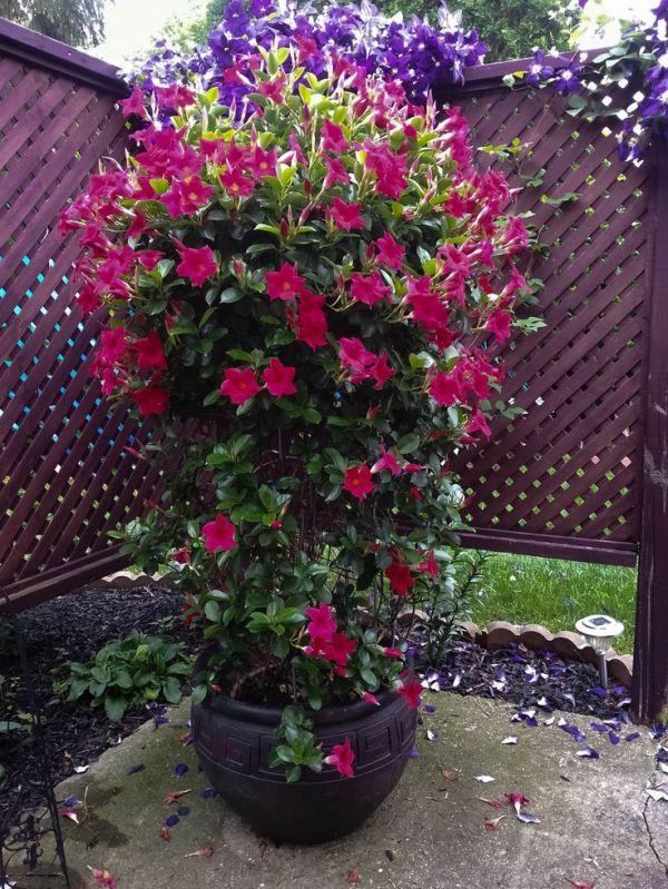 potted dipladenia garden