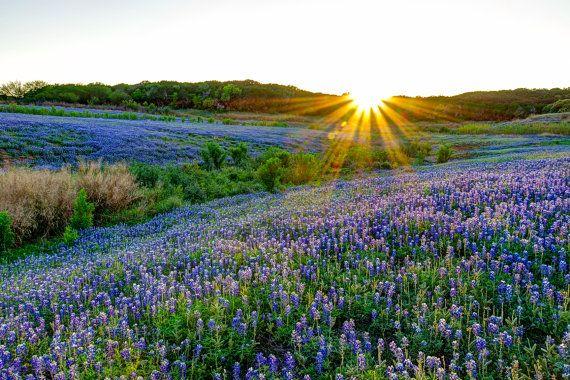 "fine art ""texas bluebonnets"""