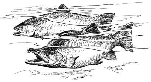 11 best images about Salmon Life Cycle on Pinterest