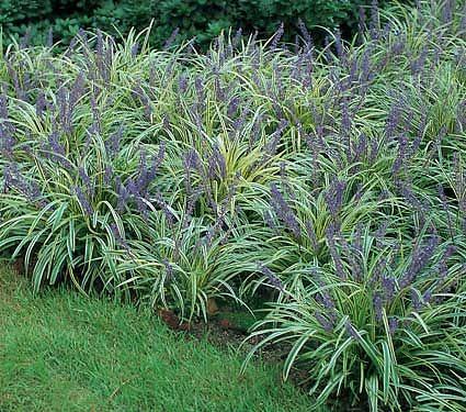 silver grey foliage plants