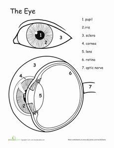 25+ best ideas about Human eye diagram on Pinterest