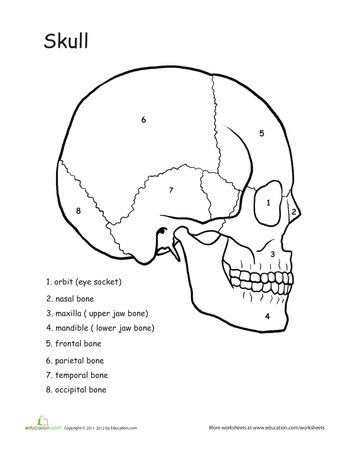 12 best images about anatomy skull bones on Pinterest
