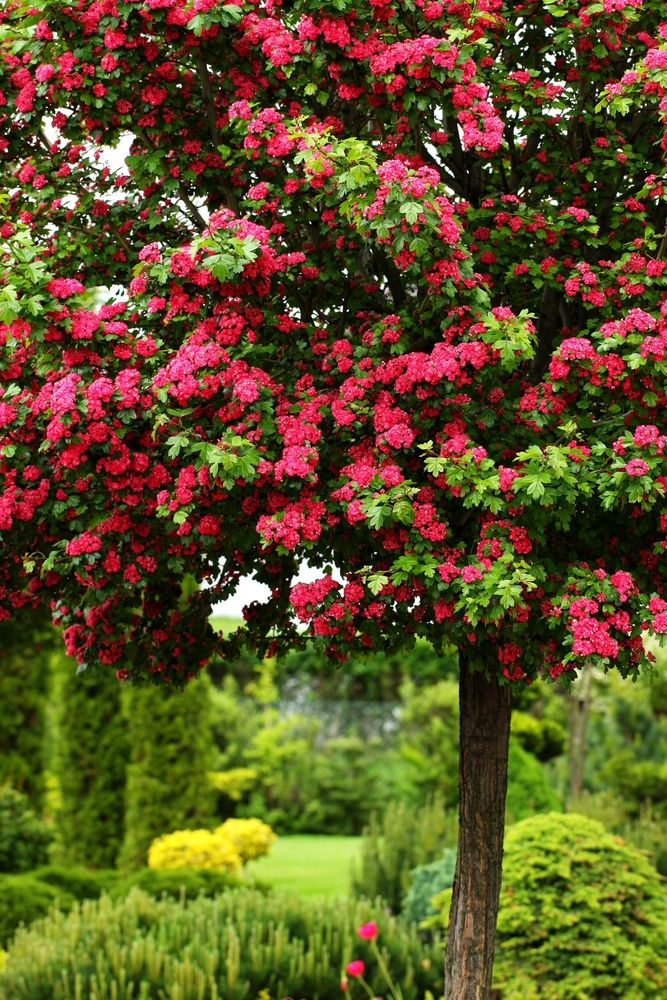 Pauls Scarlet Hawthorn  Gift of a Tree  Dodie Patterson  Pinterest  Gardens Plants and Flowers