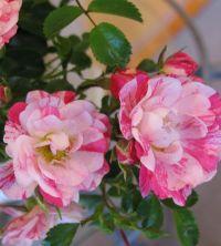 20 best images about Flower Carpet Pink Splash Roses on ...