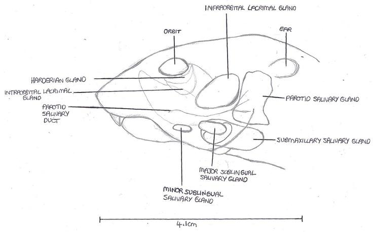 sea pig diagram