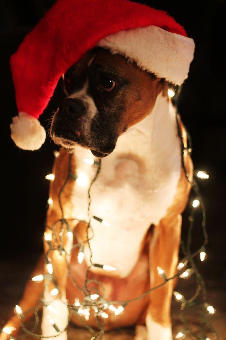 White Boxer Christmas Puppies