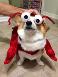 Lobster Corgi | Dog costume ideas | Pinterest