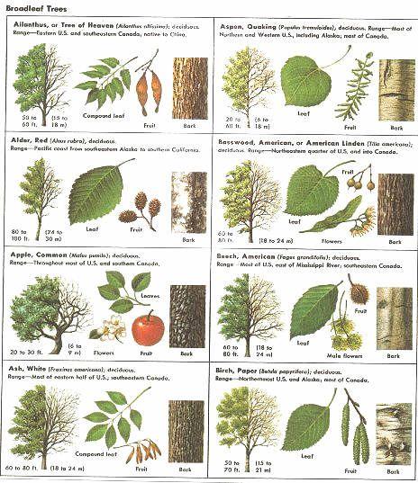 Best 25 Tree identification ideas only on Pinterest
