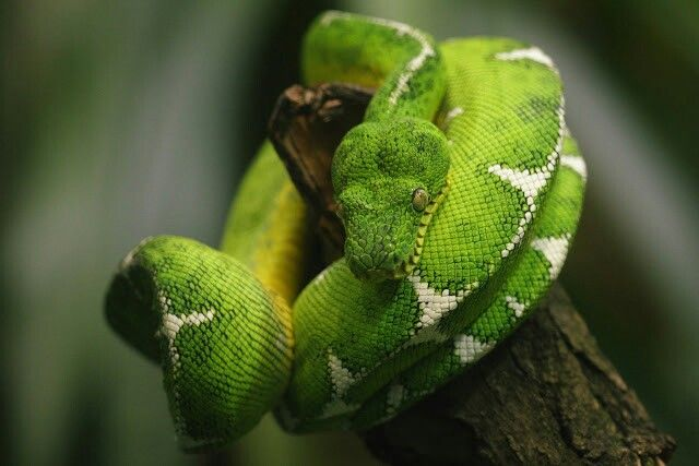 1000 images about Snakes on Pinterest  Python Trees and