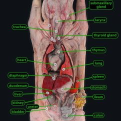 Fetal Pig Anatomy Diagram Torso Motte And Bailey Castle Labeled Dissection | Biology Life Science Pinterest Pigs Labs