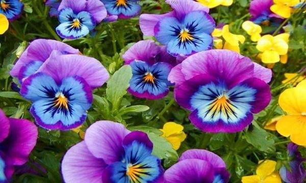 #pansies #flower #garden