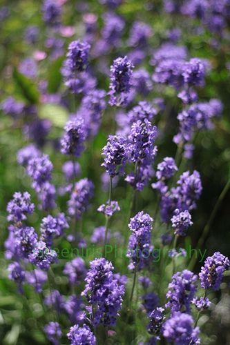 I plan on planting Lavender also! so excited!!!