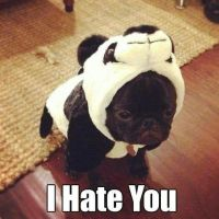 25+ best ideas about Pugs in costume on Pinterest | Funny ...