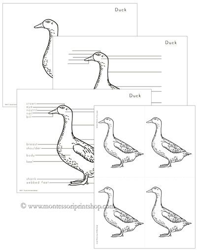 Elementary Duck Nomenclature: includes 22 parts of the