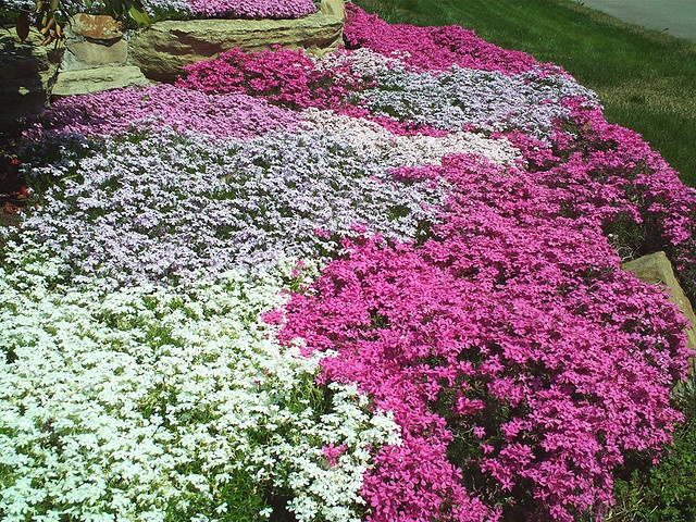 25 landscaping with phlox ivy pictures and ideas on pro landscape rh prolandscape info