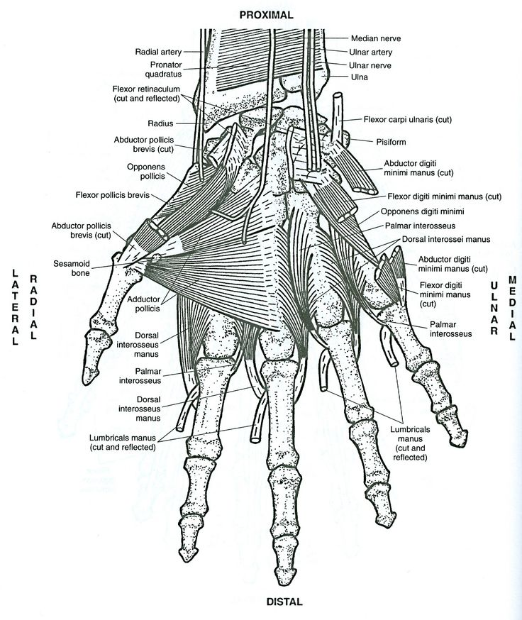 53 best images about anatomy of muscles on Pinterest
