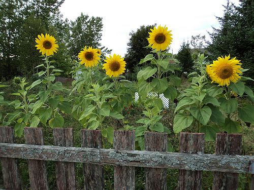 The 25 Best Ideas About Sunflower Garden On Pinterest Planting