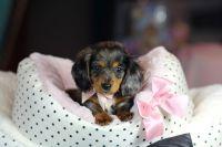 Top 25+ best Teacup dachshund ideas on Pinterest | Baby ...