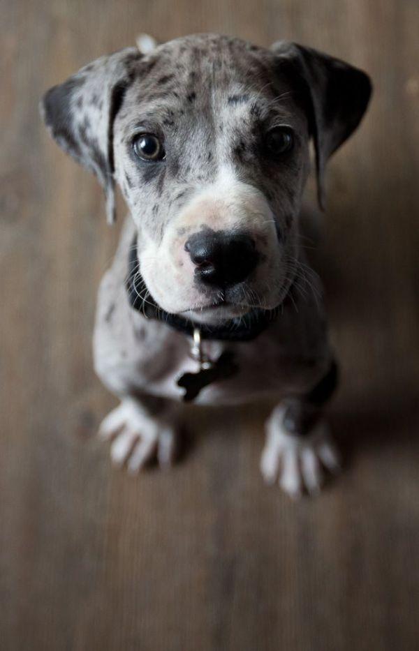 25 best ideas about Great dane puppies on Pinterest