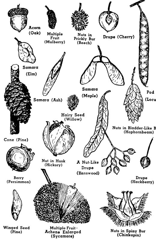 72 best images about Forest plants: Identification on